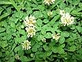 Starr 070313-5642 Trifolium repens.jpg