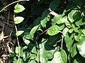 Starr 070403-6353 Anredera cordifolia.jpg