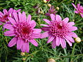 Starr 070906-8417 Argyranthemum frutescens.jpg