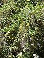 Starr 071024-0096 Duranta erecta.jpg