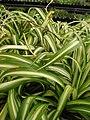 Starr 080117-1517 Chlorophytum comosum.jpg