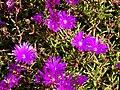 Starr 080219-2882 Lampranthus roseus.jpg