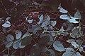 Starr 980501-4013 Rubus niveus f. a.jpg