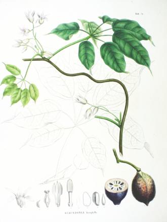 Stauntonia - Stauntonia hexaphylla