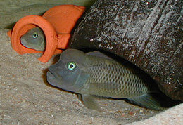 عکس ماهی سیچلاید کله شیری محدب