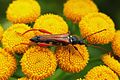 Stenopterus rufus (Cerambycidae) - (male imago), Brummen, the Netherlands.jpg