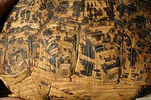 Scute - Detail of scutes of Leopard Tortoise