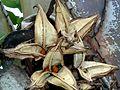 Strelitzia nicolai, oop vrugte en sade, Iphithi NR.jpg