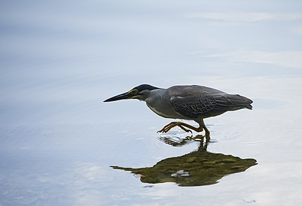 A striated heron looks for fish.