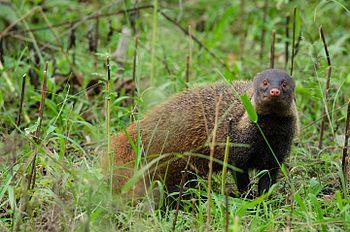Stripe Necked Mongoose Stare.jpg