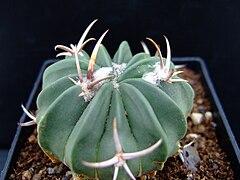 Succu Echionofossulucactus coptonogonus01.jpg