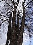 Suchdol - stromořadí lip srdčitých v Gagarinově ulici na Budovci (4).jpg