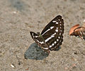 Sullied Sailor (Neptis soma) at Jayanti, Duars, WB W IMG 5428.jpg
