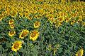 Sunflowers daytime.jpg