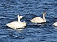 Swans - Tundra and Trumpeter (32181256316).jpg