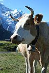 Swiss cow - panoramio (1).jpg