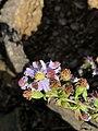 Symphyotrichum drummondii 58290270.jpg
