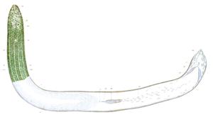 Symsagittifera roscoffensis - Original painting by Ludwig von Graff