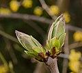 Syringa vulgaris Cultivars bud - 01.jpg