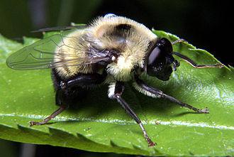 Aggressive mimicry - Defensive Batesian mimics, like this bumblebee-mimicking hoverfly, are the antithesis of aggressive mimics.