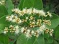 Syzygium caryophyllatum - South Indian Plum at Mayyil (9).jpg