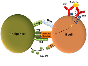 CD154 - T cell-dependent B cell activation, showing a TH2-cell (left), B cell (right), and several interaction molecules, the TH2-cell expressing CD40L.