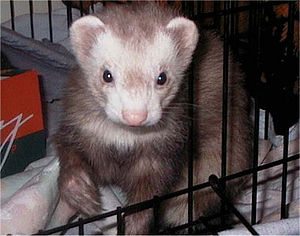 One of my Ferrets, his name is Cincin