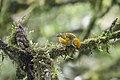 Tangara icterocephala -Panama-8.jpg
