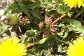 Taraxacum officinale PID1200-2.jpg