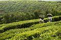 Tea workers carrying tea sacks JEG9536.jpg