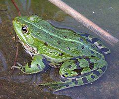 Żaba wodna – Wikipedia, wolna encyklopedia