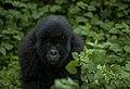Temberurwanda mountain gorilla, now 3 years old from Mutuzo gorilla family.jpg