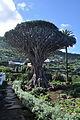 Tenerife - Drago de Icod de los Vinos 04.jpg