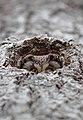 Tengmalm's owl (Aegolius funereus) 02.jpg