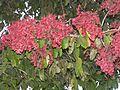 Terminalia paniculata AJTJohnsingh DSCN9674.jpg