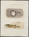 Tetrodon fahaka - 1700-1880 - Print - Iconographia Zoologica - Special Collections University of Amsterdam - UBA01 IZ15500061.tif