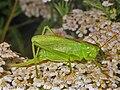 Tettigoniidae - Tettigonia cantans-1.jpg