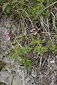 Teucrium chamaedrys-subsp-praecox bray-sur-somme 80 25062007 5.jpg