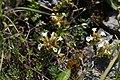 Teucrium montanum - img 38694.jpg
