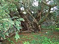 The Fortingall Yew - geograph.org.uk - 847537.jpg