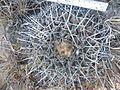 Thelocactus rinconensis (5729775044).jpg