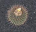 Thelocactus rinconensis 01.jpg