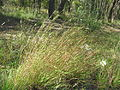 Themeda triandra with tubercle-hairs32 (9654529658).jpg