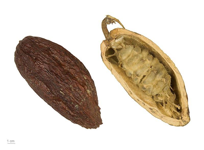 Archivo:Theobroma cacao MHNT.BOT.2004.0.204.jpg