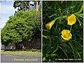 Thevetia peruviana 1.jpg