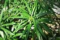 Thevetia peruviana 1zz.jpg