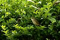 Thick-billed warbler (Iduna aedon) from The Anamalai hills JEG0661.jpg