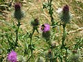 Thistle Bee a Supplementary - geograph.org.uk - 200504.jpg