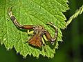 Thomisidae - Pistius truncatus.JPG
