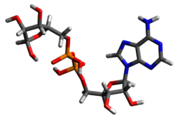Three-dimensional model of ADP ribose.png